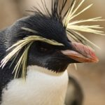 האם אתה מוכן לפינגווין הבא ?